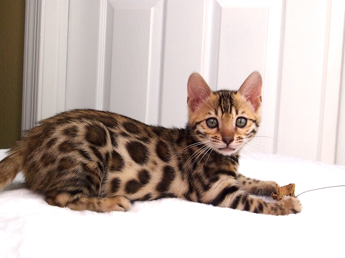 Top Benefits Of Buying A Bengal Kittens For Sale In Pa?